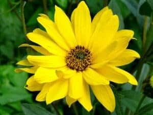Arnica est une pommade à base d'une fleur qui se nomme Arnica